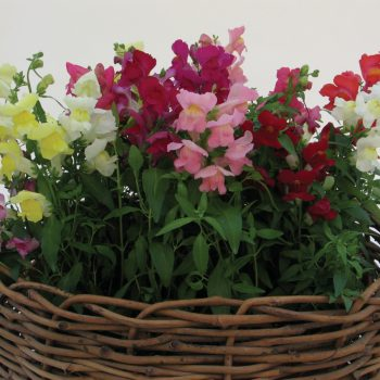 Snapdragon Snapshot Mix from PanAmerican Seed - Year of the Snapdragon - National Garden Bureau