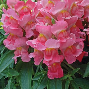Snapdragon Snapshot Pink from PanAmerican Seed - Year of the Snapdragon - National Garden Bureau
