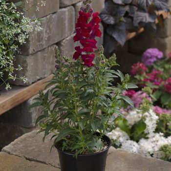 Snapdragon Snaptastic Red by Syngenta Flowers - Year of the Snapdragon - National Garden Bureau
