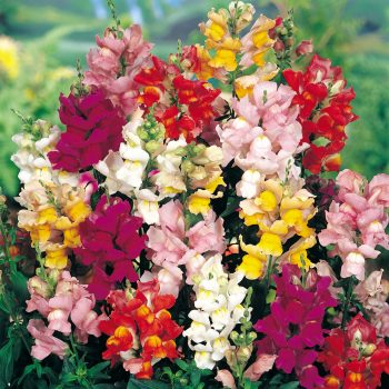 Snapdragon Solstice Mix from PanAmerican Seed - Year of the Snapdragon - National Garden Bureau
