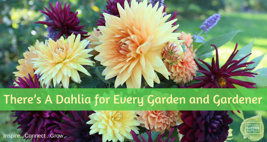 There's a Dahlia for Every Garden and Gardener - Year of the Dahlia - National Garden Bureau