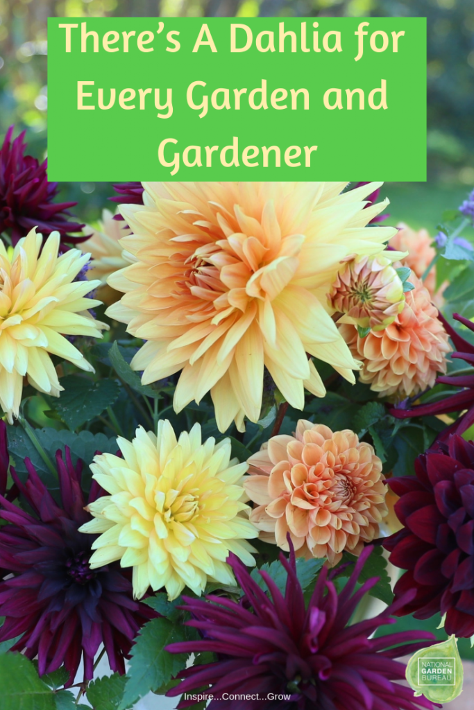 There S A Dahlia For Every Garden And Gardener National Garden Bureau