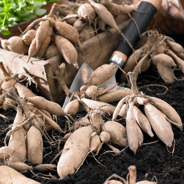Dahlia Tubers Plant the sweet potato-like tubers in well-drained soil, either in the garden or in containers. - Year of the Dahlia - National Garden Bureau