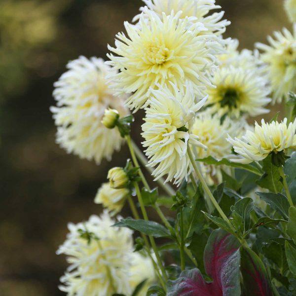 Semi-Cactus Dahlia-Yellow-Star - Longfield Gardens - Year of the Dahlia - National Garden Bureau