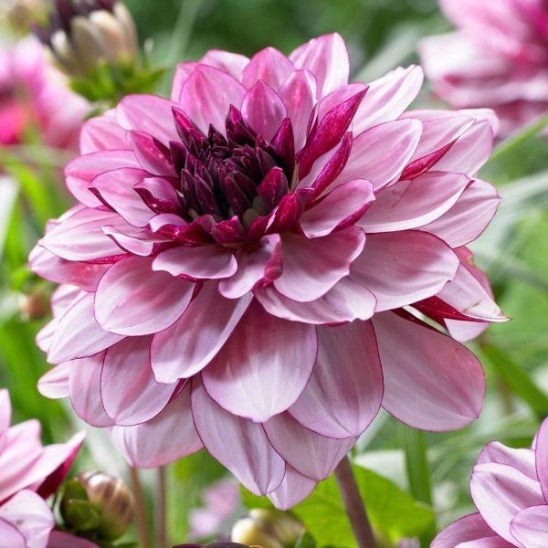 Dahlia Creme de Cassis - Longfield Gardens - Year of the Dahlia - National Garden Bureau