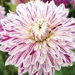 Dahlia Avignon from NGB member at Jung Seed