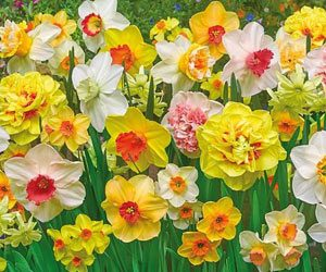 Spring Blooming Flower Bulbs From NGB member Breck's