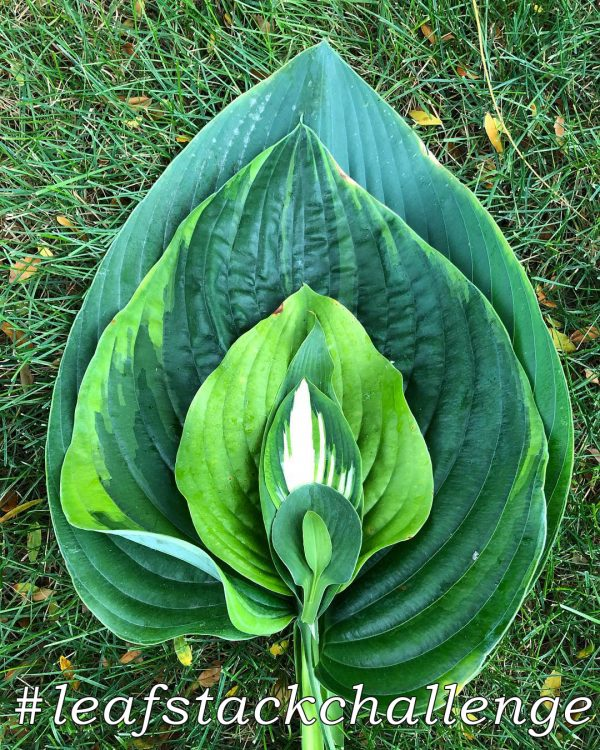 #LeafStackChallenge made of hostas - National Garden Bureau