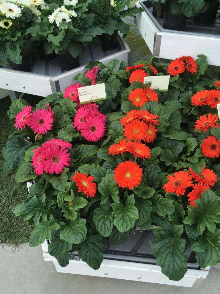 Bengal Series Gerbera - Plants to grow in your garden - National Garden Bureau