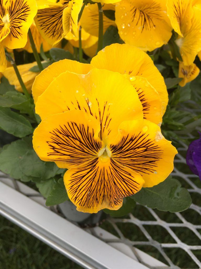 Cats Yellow Viola - Plants to grow in your garden - National Garden Bureau