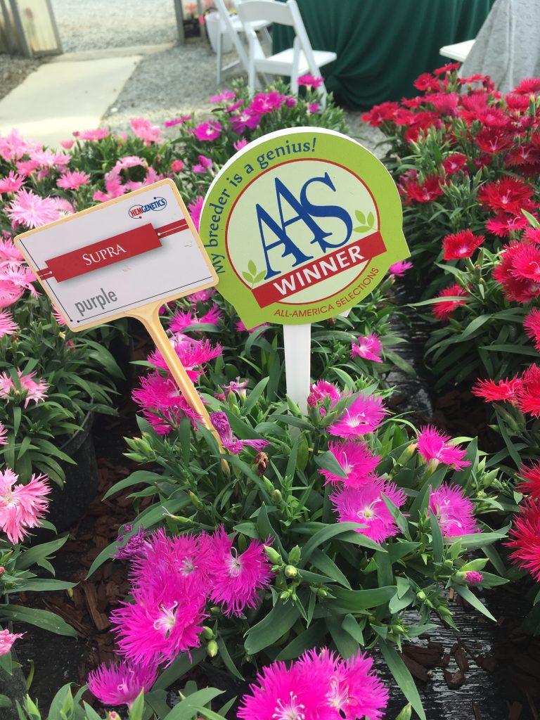 Dianthus Supra Purple - Plants to grow in your garden - National Garden Bureau