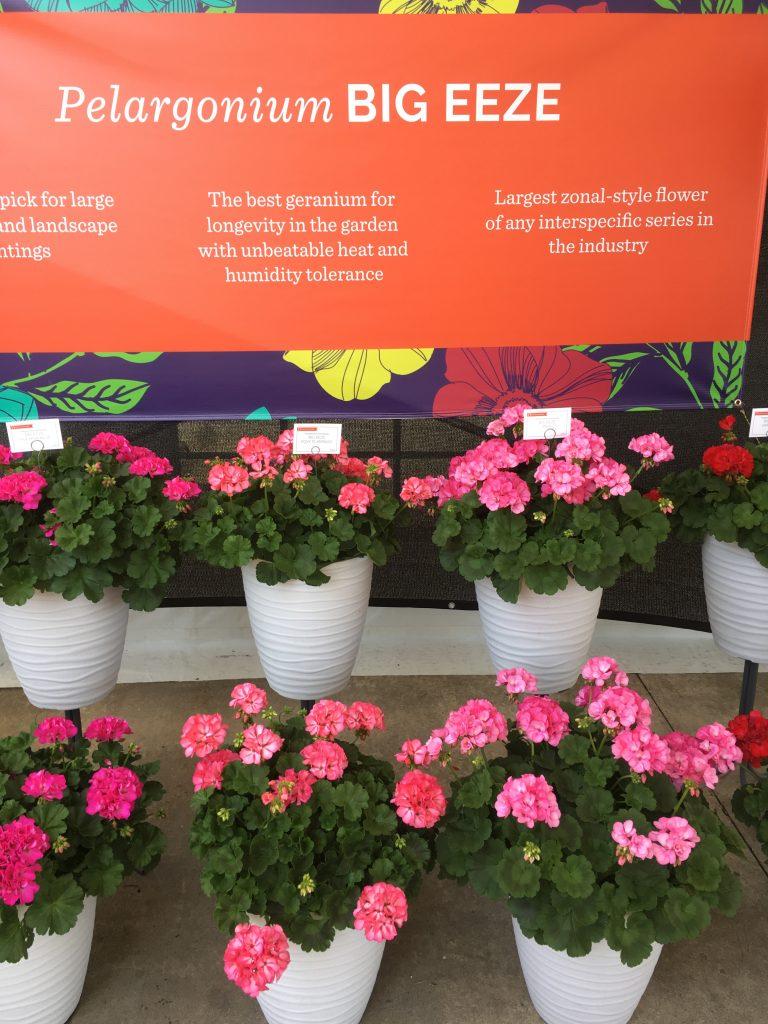 Outstanding Geraniums - Plants to grow in your garden - National Garden Bureau