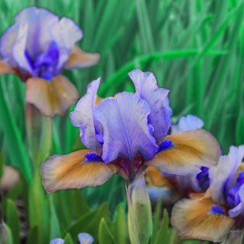 Iris Dwarf Blueberry Tart by Brecks - Year of the Iris - National Garden Bureau