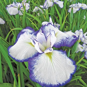 Iris Japanese Picotee by Brecks - Year of the Iris - National Garden Bureau