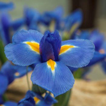 Iris Blue Diamond by Brecks - Year of the Iris - National Garden Bureau