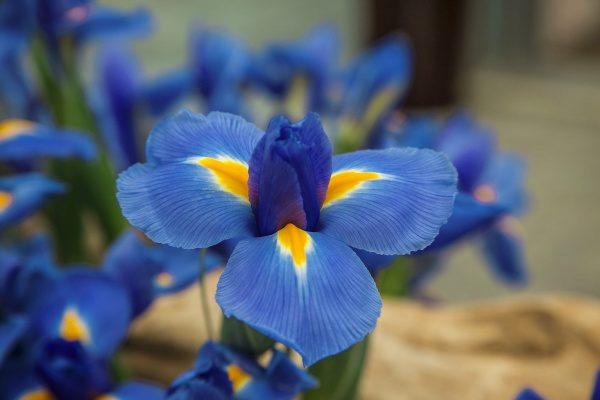 Iris Blue Diamond by Brecks - Year of the Iris - National Garden Bureau