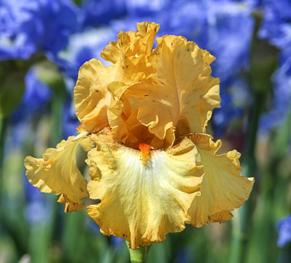 Iris Bearded Burrerlicious by Brecks - Year of the Iris - National Garden Bureau