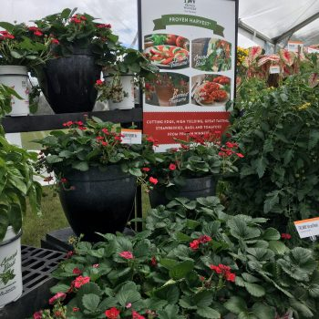 Buried Treasure Red Strawberry for your Grillscape - - Grillscaping is planting herbs, vegetables and flowers you can use in your meals and drinks right next to and around where your grill is located - National Garden Bureau