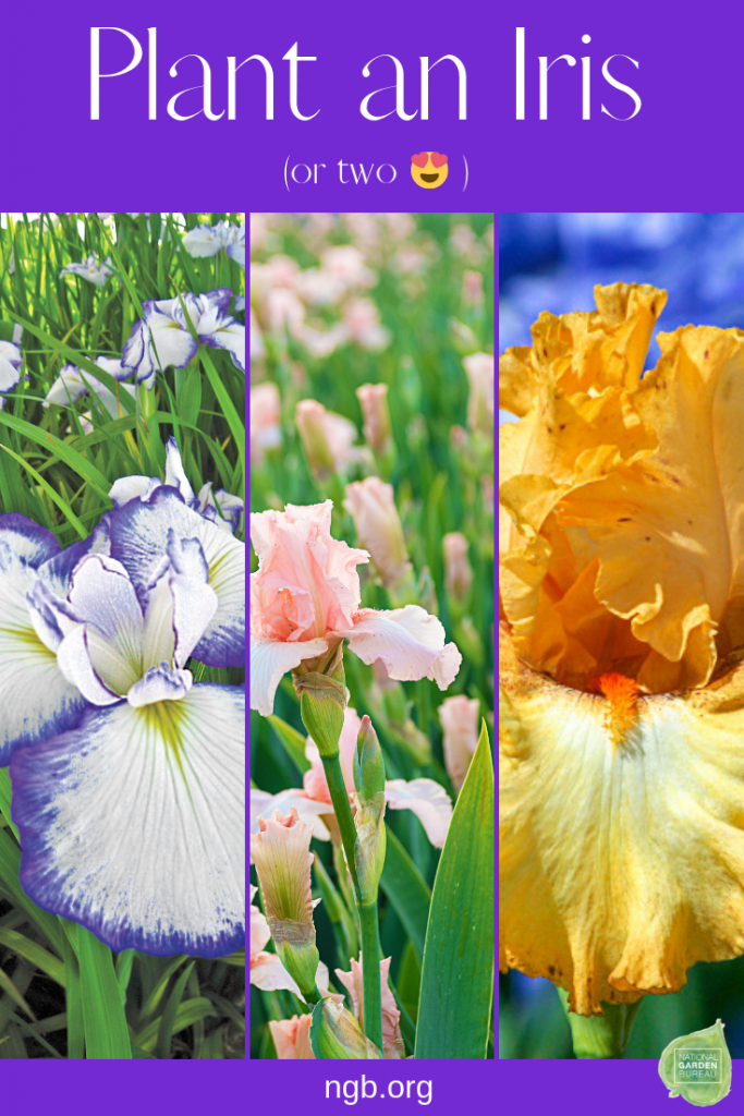 Plant an Iris or Two in Your Garden - National Garden Bureau