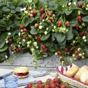 Strawberry Delizz perfect for Grillscape Gardening - National Garden Bureau