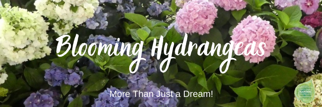 Blooming Hydrangeas are more than a dream with these 7 tips - National Garden Bureau #hydrangeagardeningtips