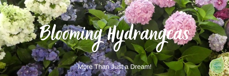 Blooming Hydrangeas Guaranteed National Garden Bureau
