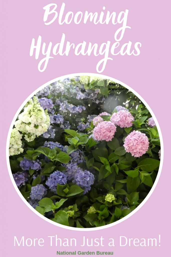 Blooming Hydrangea can be more than just a dream - National Garden Bureau - #hydrangeacare #gardeningtips #hydrangeacaretips