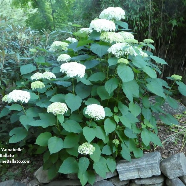 Hydrangeas that bloom on new wood - Annabella Hydrangea - National Garden Bureau #HydrangeaCareTips