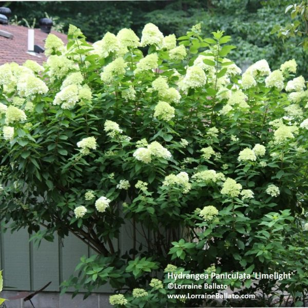 Blooms on first year wood - imelight Hydrangea Flowers bloom on new stems - National Garden Bureau