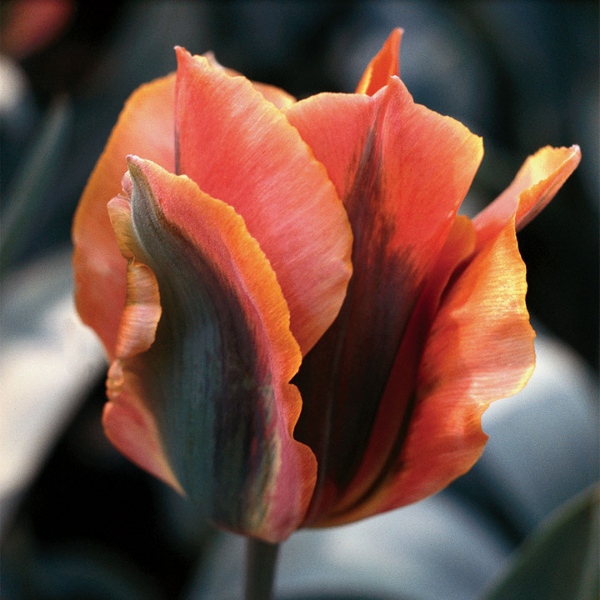 Tulip Artist - New for 2019 - National Garden Bureau