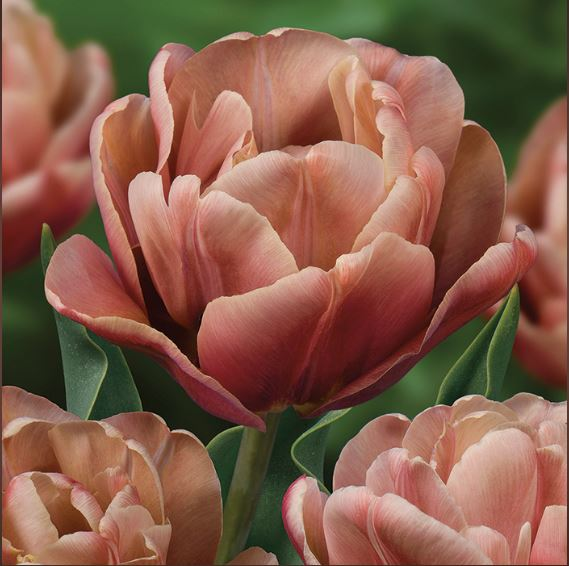 La Belle Epoque Late Tulip - new for 2019 - National Garden Bureau
