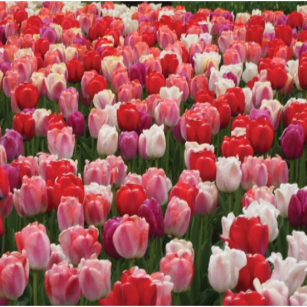 Tulip Pride Mixture - New for 2019 - National Garden Bureau