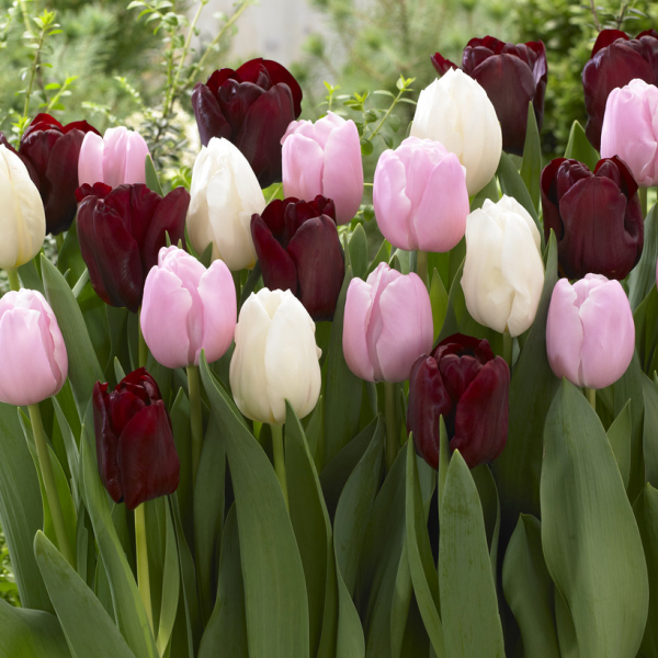 Tulip Chocolate Candy Collection - new for 2019 - National Garden Bureau