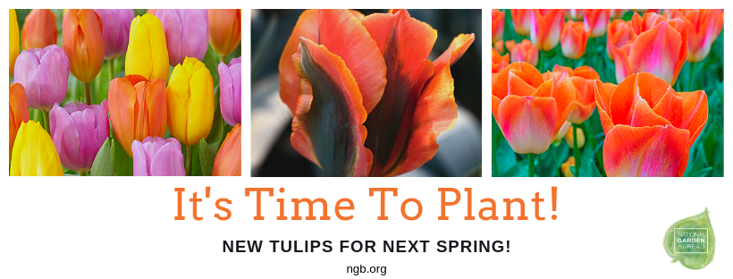 It's Time To Plant Your New Tulips for Next Spring - National Garden Bureau