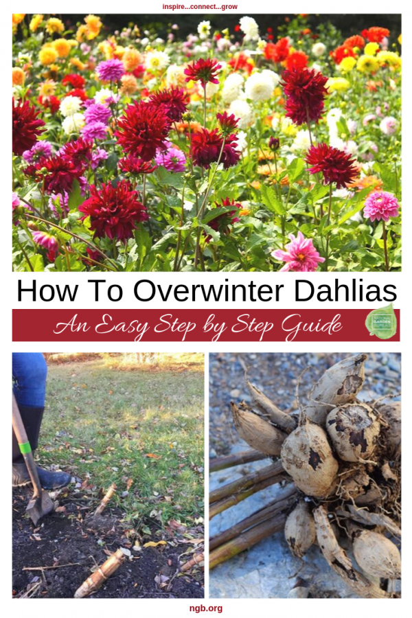 An Easy Step by Step Guide on Overwintering Your Dahlias - National Garden Bureau