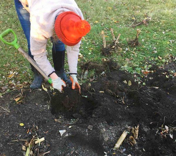 Dig out your Dahlias for Overwinter Storage - National Garden Bureau-