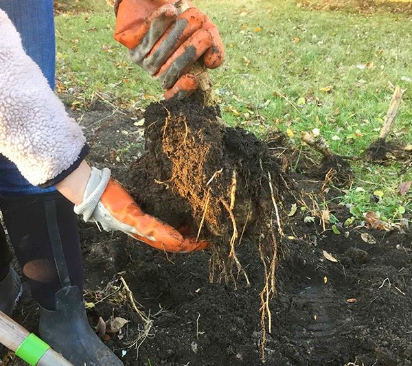 Gently shake excess dirt off of your tubers after digging them up for overwintering - Storing Your Dahlias - National Garden Bureau