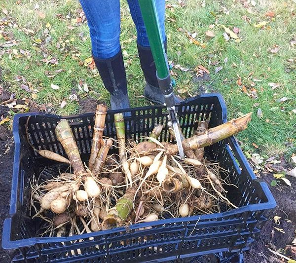 Examine Your Tubers and remove rotten parts before storing for winter - Overwinter Storage of Dahlias - National Garden Bureau