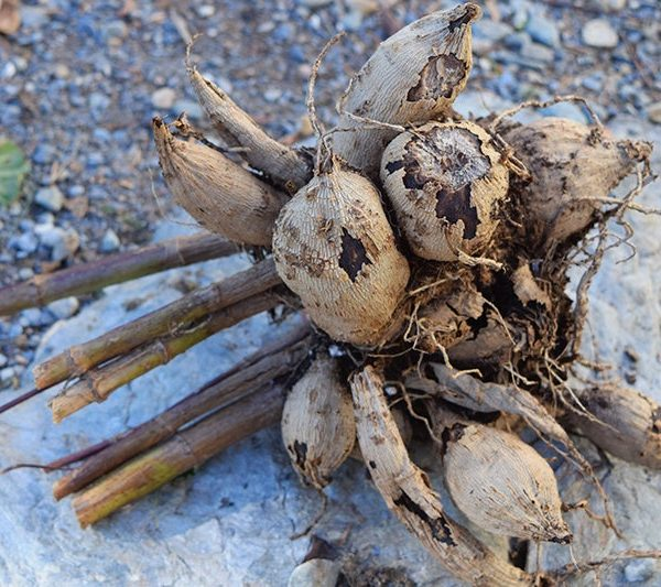 Drying Tubers Before Storing For Winter - Overwintering Dahlias - National Garden Bureau