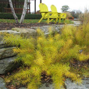 Amsonia hubrichtii in fall - Perennials for Fall Color -National Garden Bureau