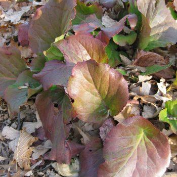 Bergenia cordifolia, a perennial with fall color - National Garden Bureau