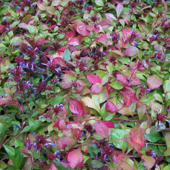 Ceratostigma plumbaginoides, a perennial with fall color - National Garden Bureau
