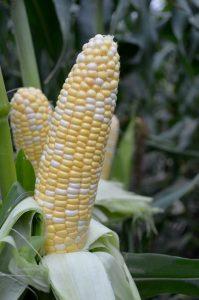 Year of the Corn - Sweet American Dream