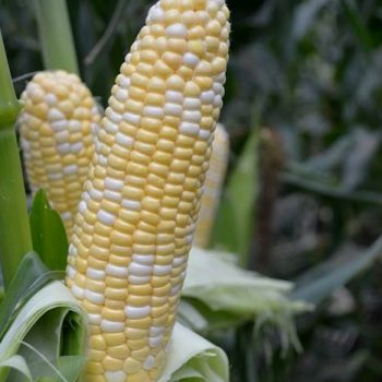 Corn American Dream by IFS - Year of the Corn - National Garden Bureau