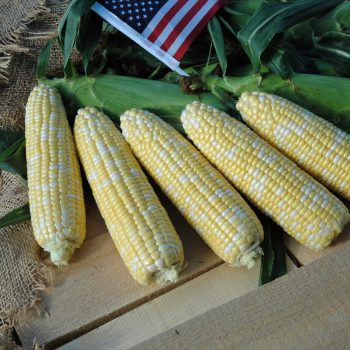 Corn American Dream by Garden Trends - Year of the Corn - National Garden Bureau