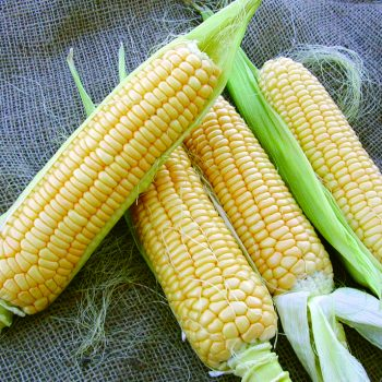 Corn Bodacious by Territorial Seed Co - Year of the Corn - National Garden Bureau