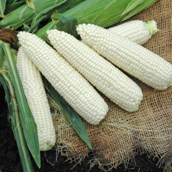 Corn Freedom MXR by Illinois Foundation Seeds - Year of the Corn - National Garden Bureau