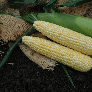 Corn Kick Off XR by Garden Trends - Year of the Corn - National Garden Bureau