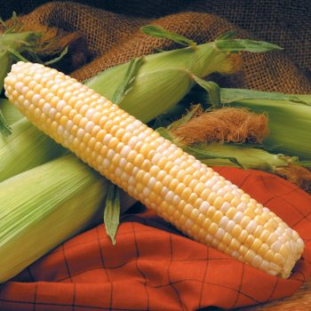 Corn Providence by Syngenta Flowers - Year of the Corn - National Garden Bureau
