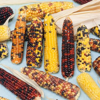 Corn Rainbow by Seeds by Design - Year of the Corn - National Garden Bureau